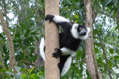 165 vakona reserve d andasibe lemuriens sur leur ile